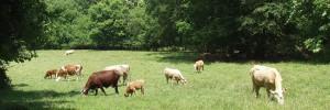 cattle_meadow