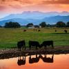 Bovine, ruminant