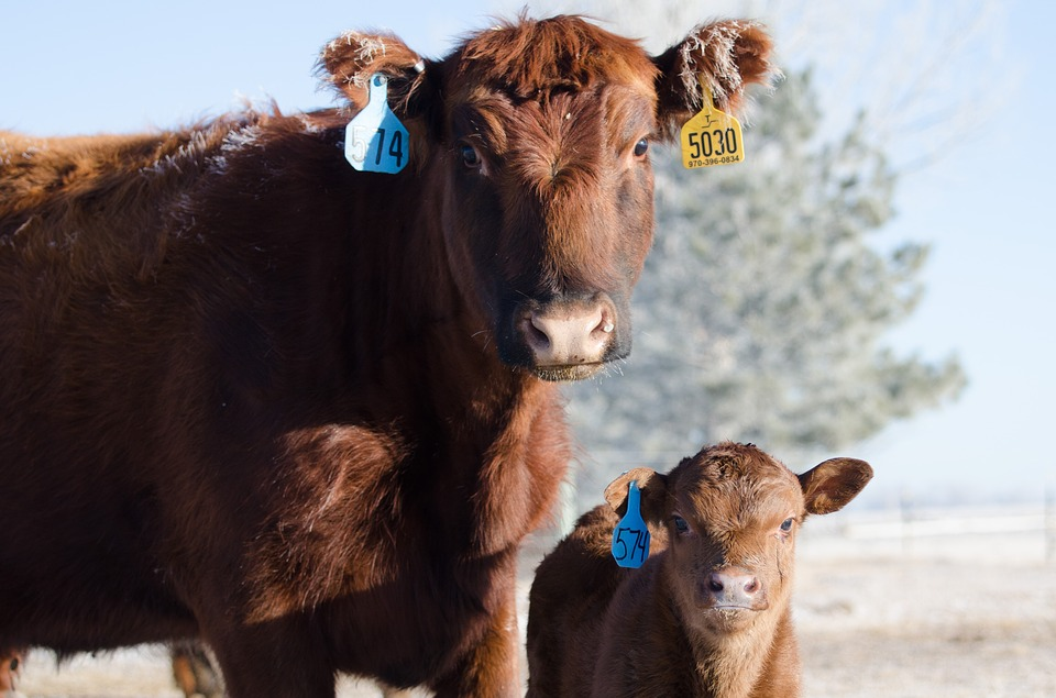 cow_red angus