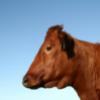 danish beef cow