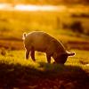 growing pig