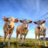 lean cattle