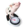 Piglet birthweight