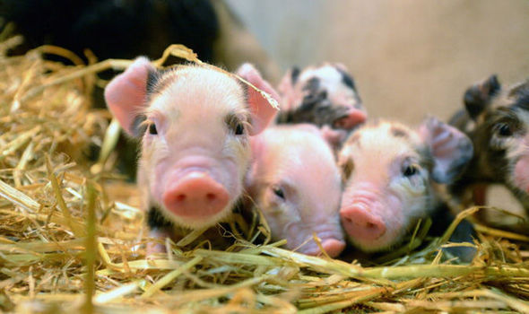 piglets-595541