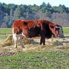 TS cow