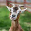 TS Goat Isolation