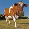 TS Holstein steers
