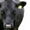 TS Rumen Cow