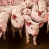 TS weanling pig (1)