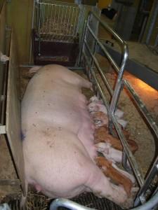 Denmark pig 3