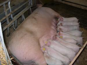 Denmark pig 4