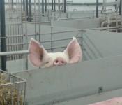Denmark pig_banner