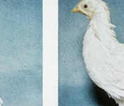 folic_acid_chicken