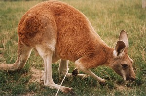 Kangur.rudy.drs