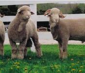 Lamb_RedJuniper