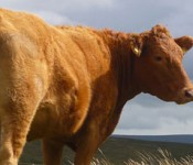 lone-cattle_banner