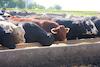 feedlot_cattle