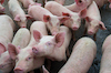 pigs_group