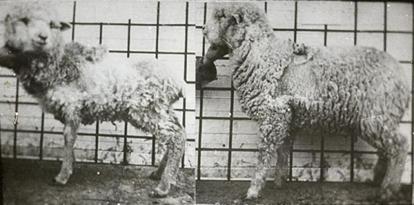 Photo of the week: Sulfur deficiency in lambs
