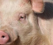 Pig_banner