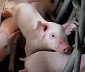 Pigs-ED