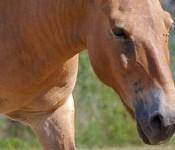 Przewalski_Horse