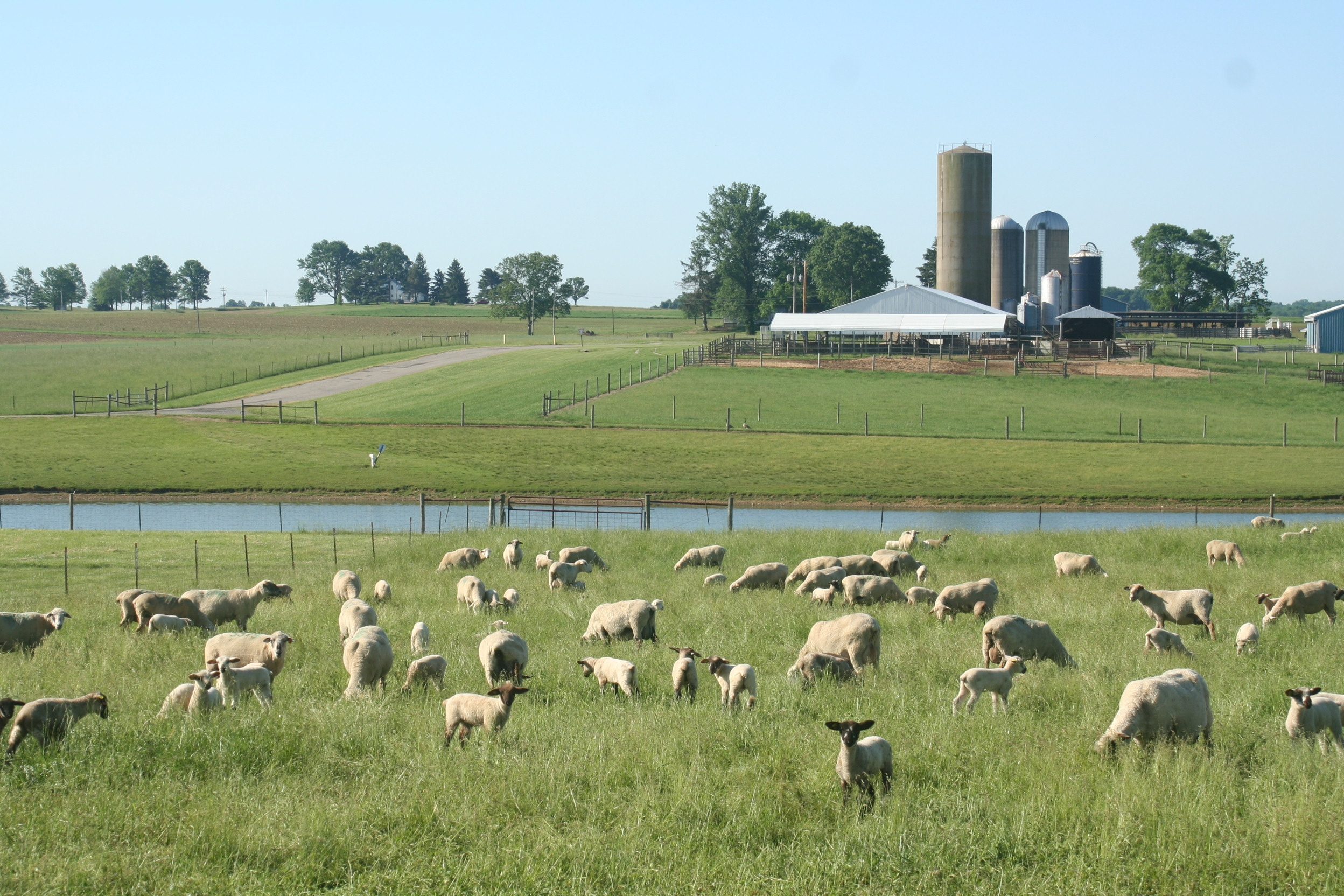 Sheep grazing improved pasture