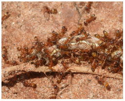 Native southern fire ants. Photo from Whitney Cranshaw, Colorado State University, Bugwood.org