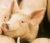 swine_coproducts_banner