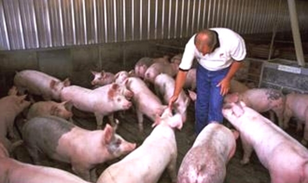 Producer checking grow-finish hogs