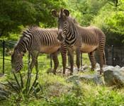 zebras150213